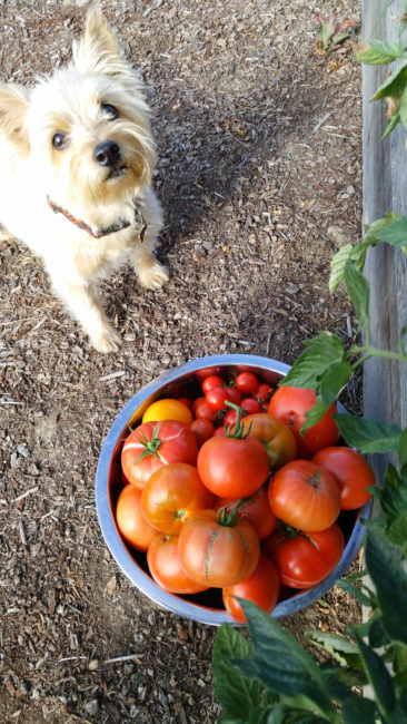 Tank the Terrier and the tomato bowl // Karista's Kitchen